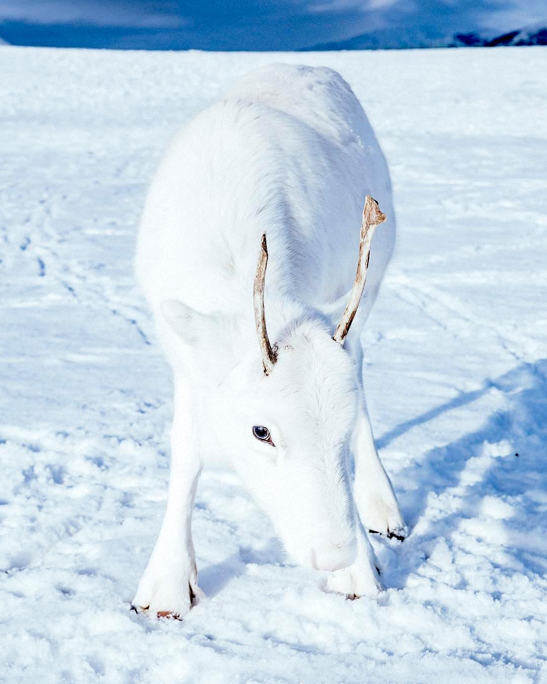 A Stunning Albino Reindeer Blends Into the Snow