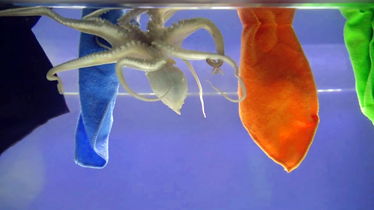 How a Common Octopus Reacts to Different Colors