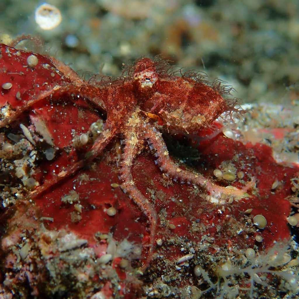 Hairy Octopus