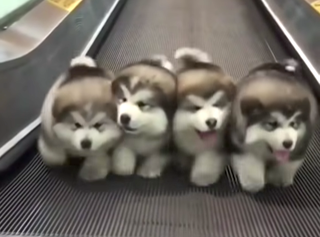 Four Puppies Stroll to 'Stayin' Alive' on Moving Walkway