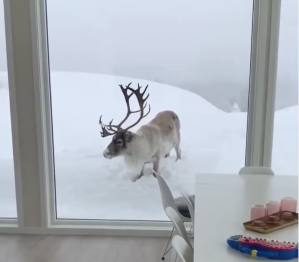Reindeer tries to come in from the Cold