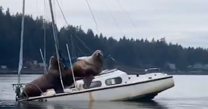 Sea Lions on Sinking Small Boat