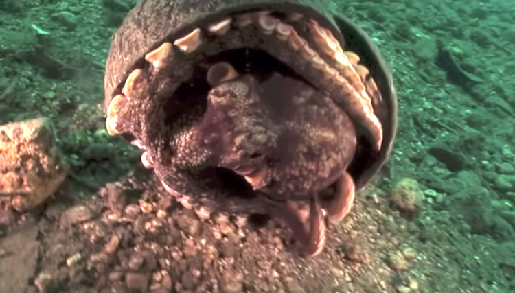 The Crafty Coconut Octopus