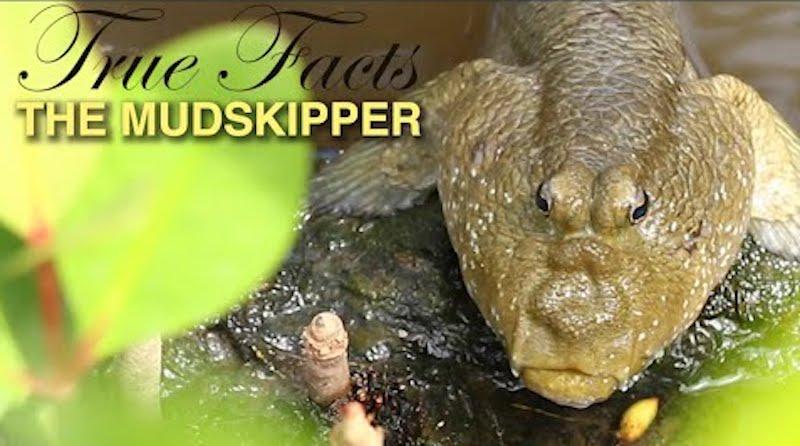 True Facts The Mudskipper