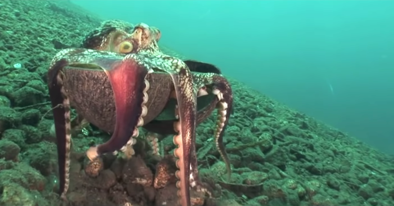 How Coconut Octopuses Use Their Namesake Shell