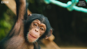 Baby Chimps Learn How To Climb