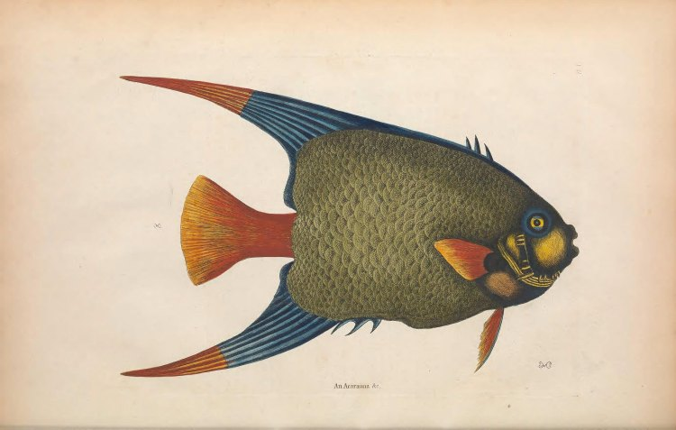 Biodiversity Heritage Library Blue Orange Fish
