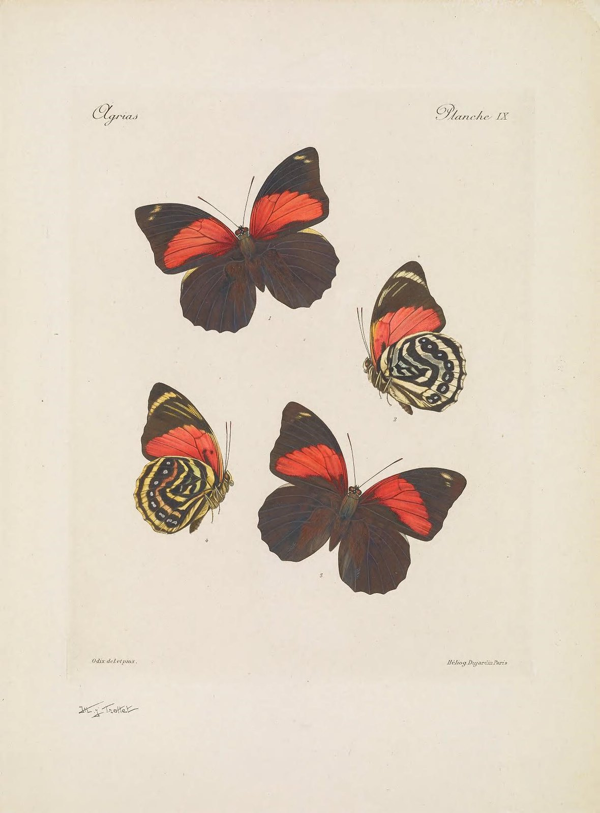 Biodiversity Heritage Library Butterflies