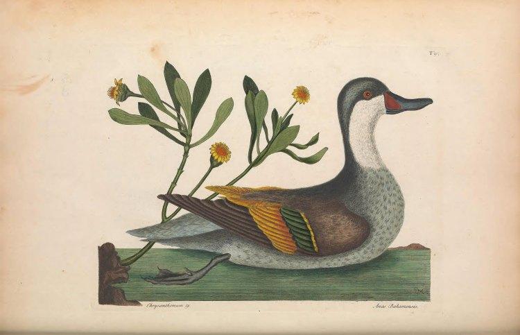 Biodiversity Heritage Library Duck