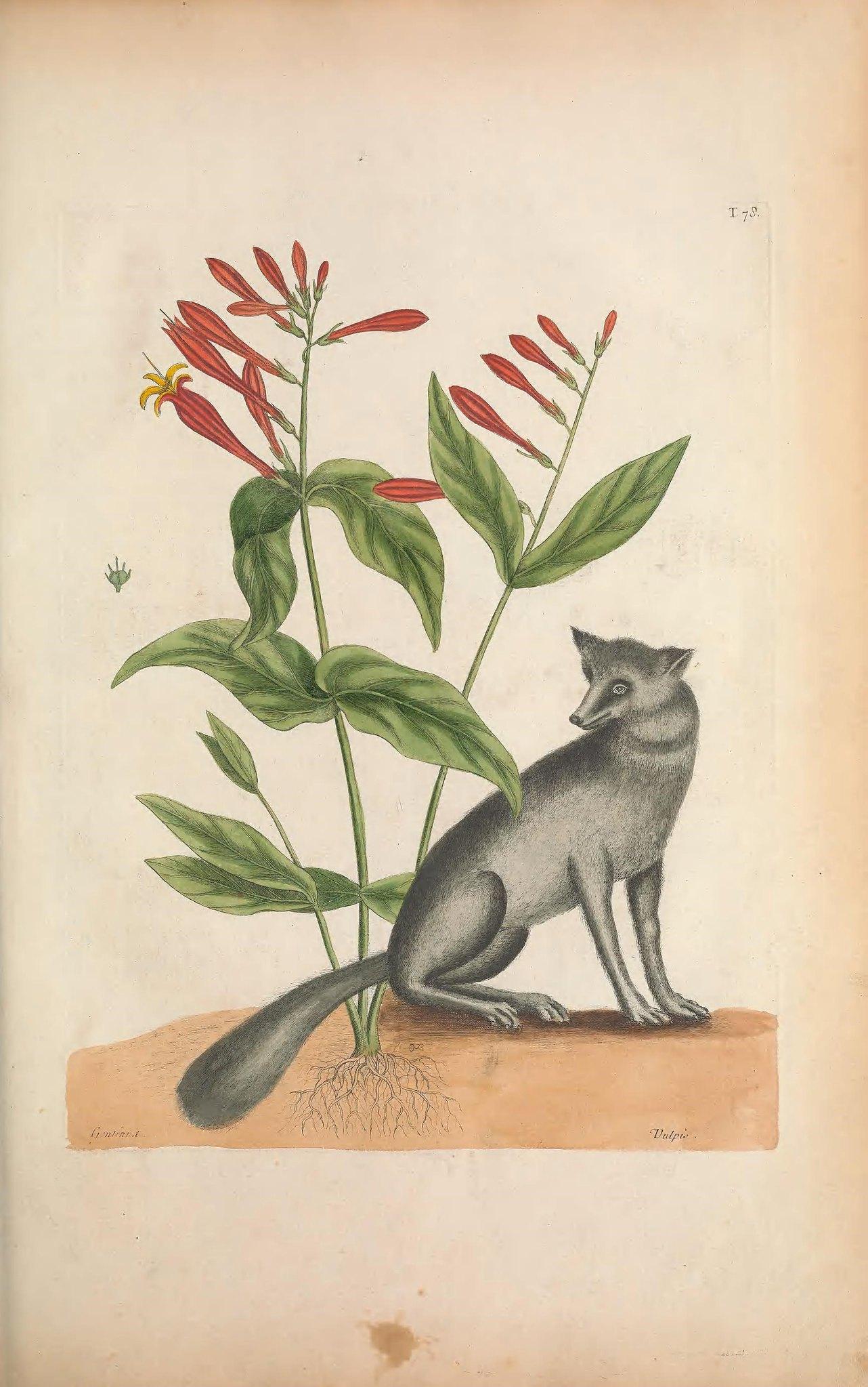 Biodiversity Heritage Library Fox.jpg