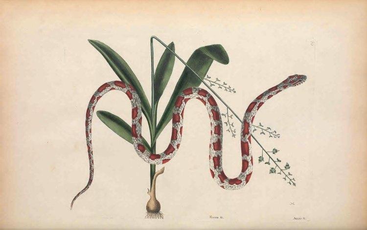 Biodiversity Heritage Library Snake