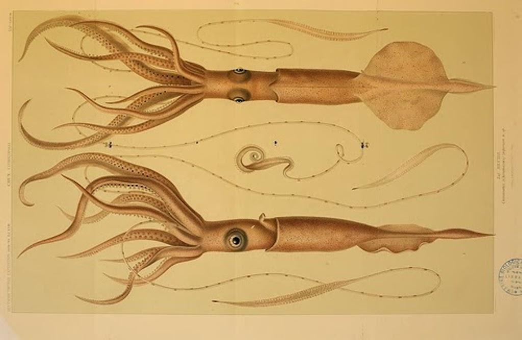 Biodiversity Heritage Library Squid