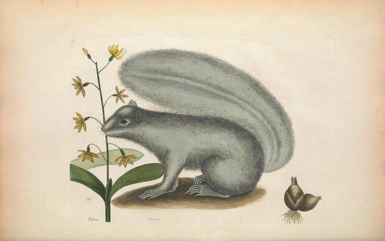 Biodiversity Heritage Library Squirrel