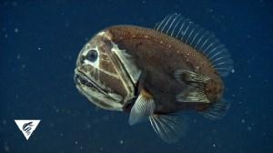 Fangtooth Ogre Fish