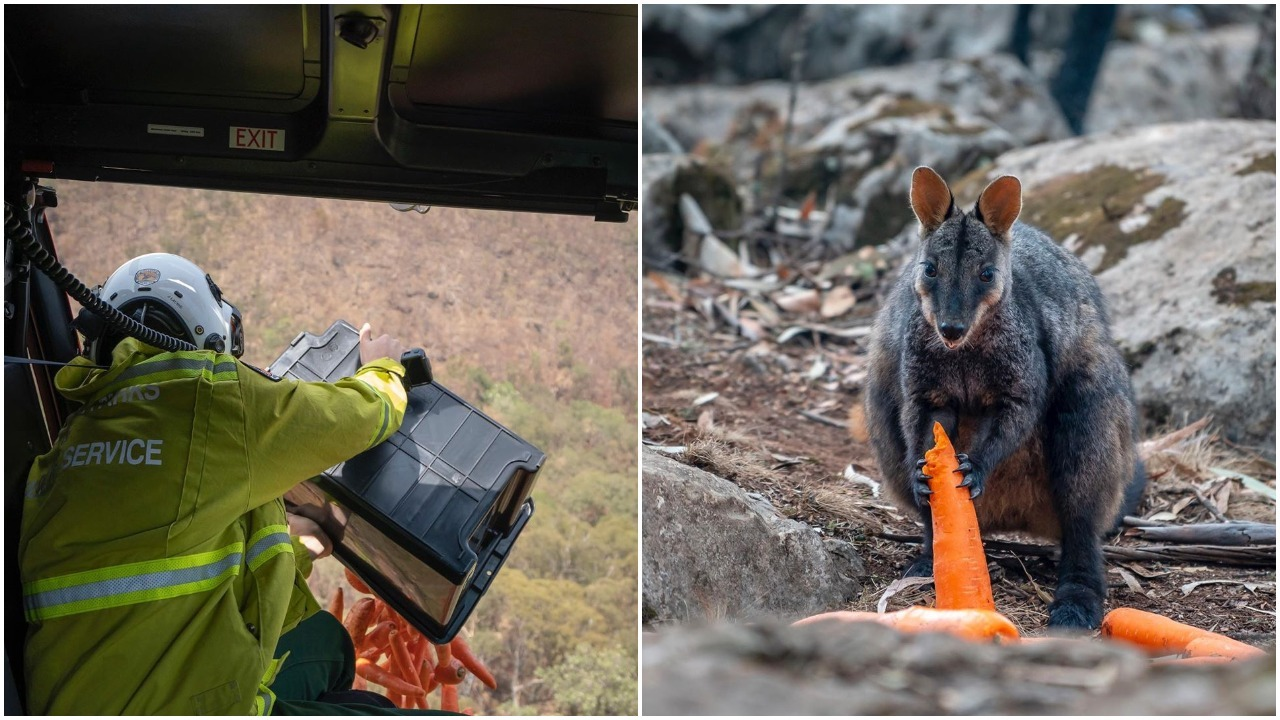 Australian Park Service Air Drops Tons of Food for Wallabies Who Lost Natural Source Due to the Fires
