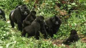 Silverback and Family Check Out Spy in the Wild