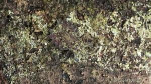 Stinkbug Camouflage