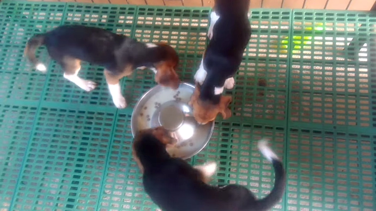 Baby Beagles Form A Puppy Pinwheel As They Rotate Around A Shared Bowl While Eating Their Breakfast