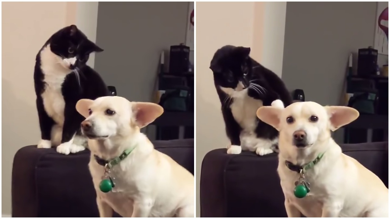 Irritated Tuxedo Cat Intensely Studies the Family Dog Before Giving Him a Good Whack on the Ear