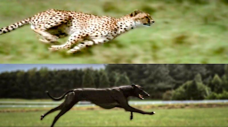 Cheetah v Greyhound