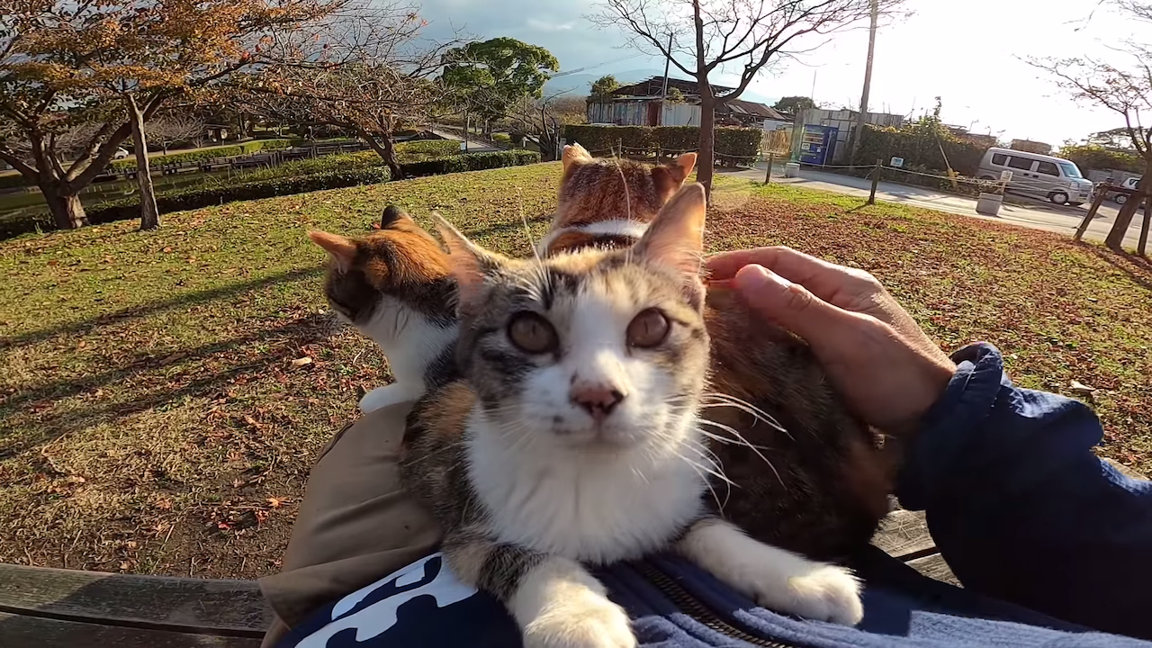 Yard Full of Affectionate Calico Cats Compete To Sit On a Human's Lap at the Same Time