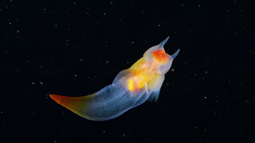 Hypnotic Footage of a Sea Angel Slug Swimming