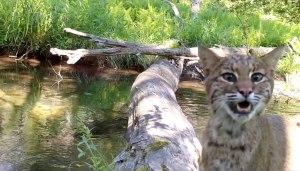 Robert Bush Photography Log Bridge Bobcat