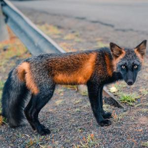 Black and Orange Cross Fox