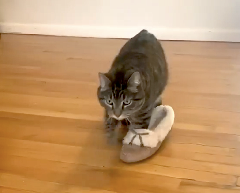 Silly Tabby Cat Wanders Around the House While Wearing His Human's Slipper on His Front Right Paw