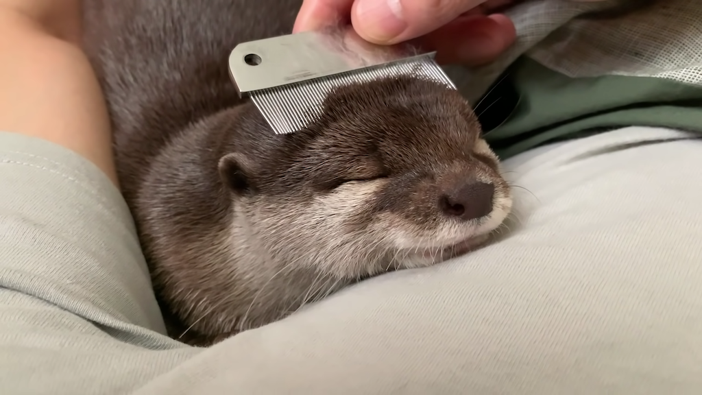 Otter Combing Session