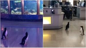 Penguins Waddle Around Shedd Aquarium