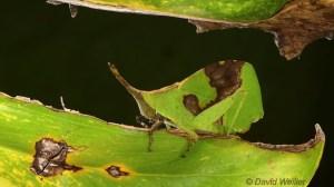 Leaf Grasshopper on Matching Leaf