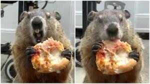 Pizza Groundhog