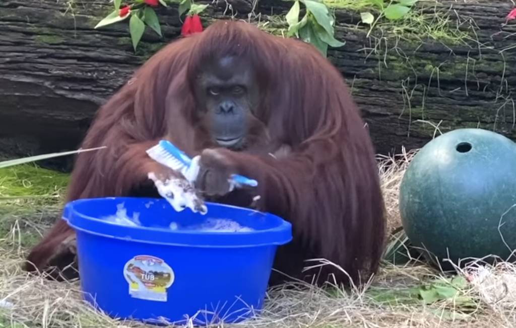 Astute Orangutan Washes Her Hands Thoroughly After Seeing Her Human Caretakers Do the Same