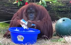 Sandra the Orangutan Washing Hands