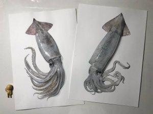 Squid Illustrations