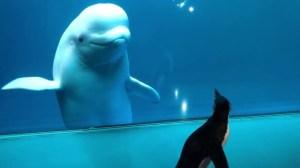 Wellington the Penguin Meets Beluga Shedd Aquarium