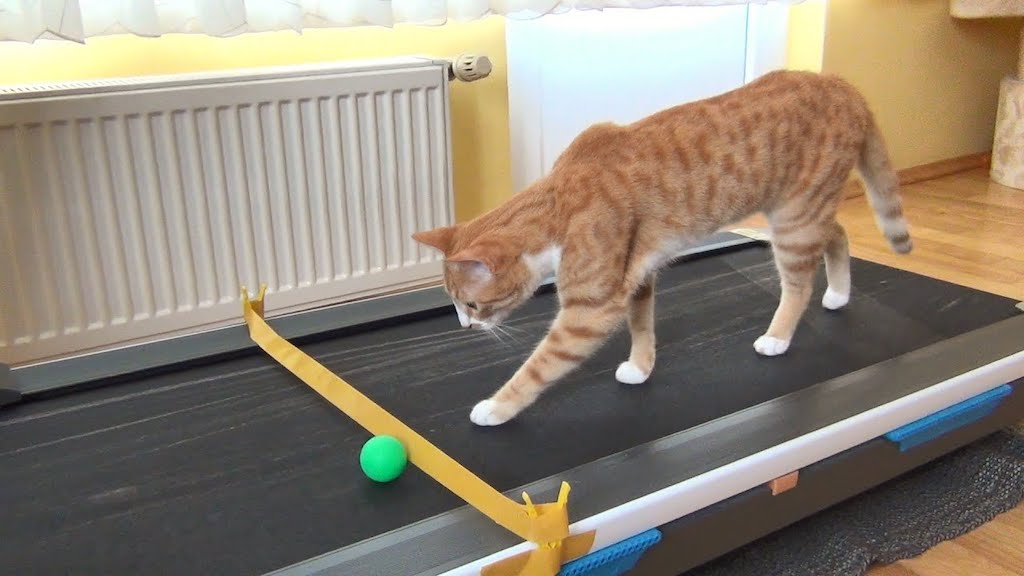 An Inquisitive Little Cat Learns How to Walk a Treadmill