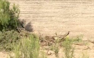 Coyote Chases Roadrunner in Real Life