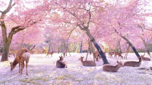 Sika Deer Cherry Blossoms Nara Park