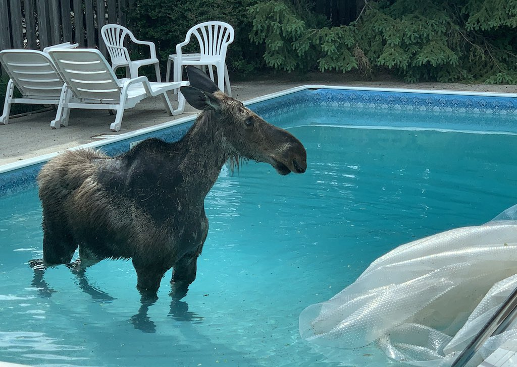 Startled Family Awakes to Find a Moose In Their Pool - laughing squid