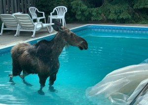 Moose in Pool Ottowa