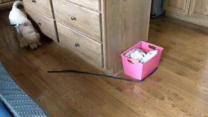 Puppy Chases Leash