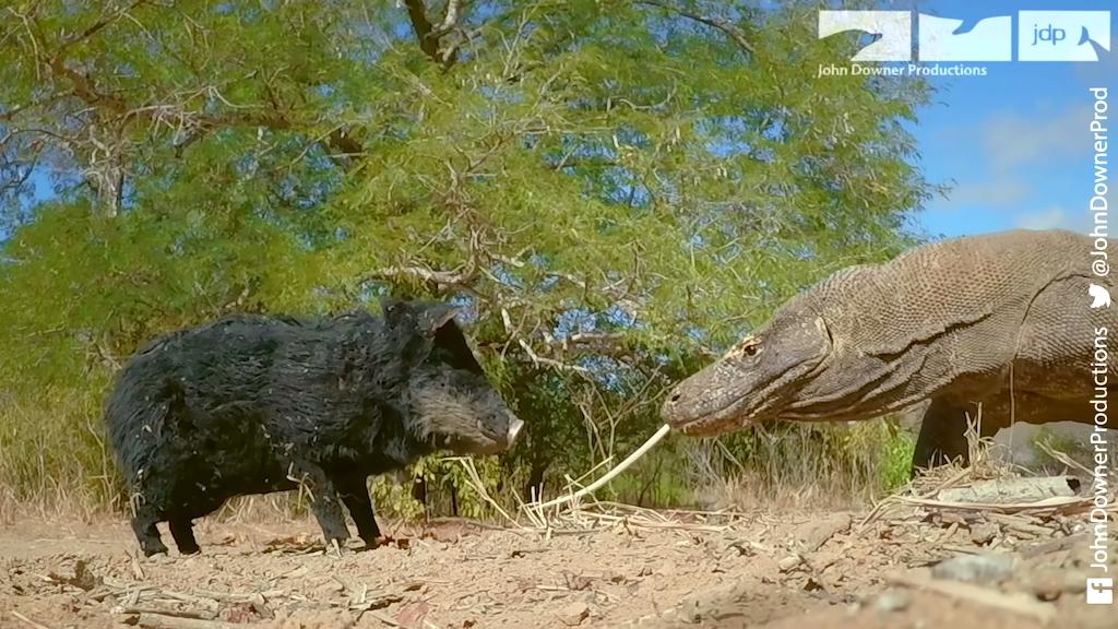 Robot Spy Pig Meets Komodo Dragons