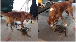 Dog Plays With Kitten Using Rope