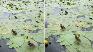 Ducklings Run Across Lilly Pads