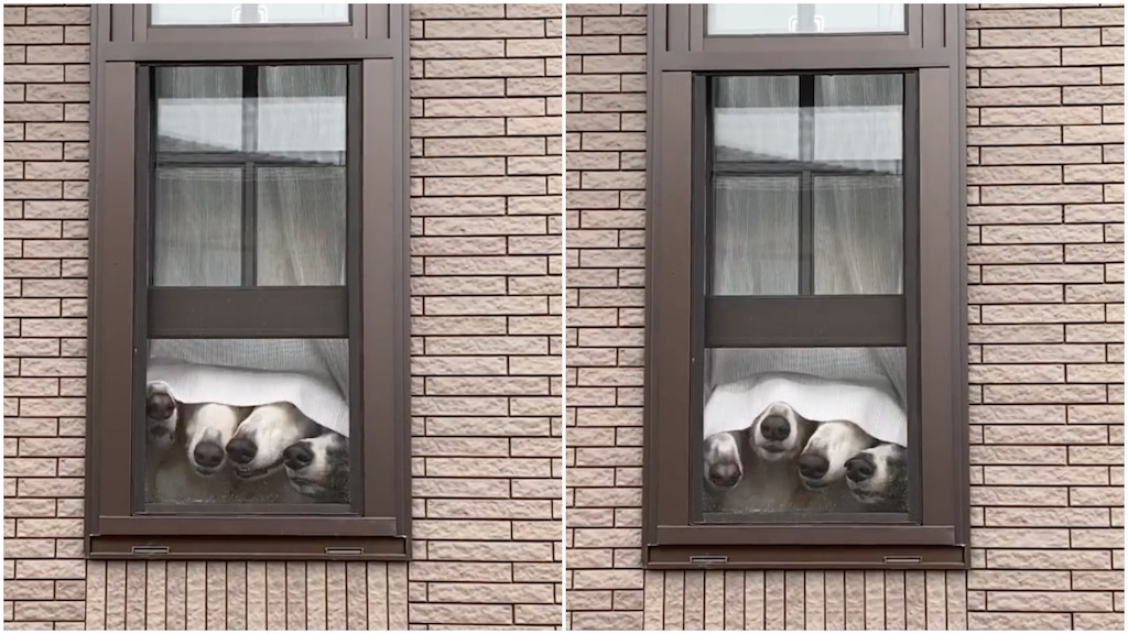 Four Dog Noses Peek From Behind Curtain to Outside