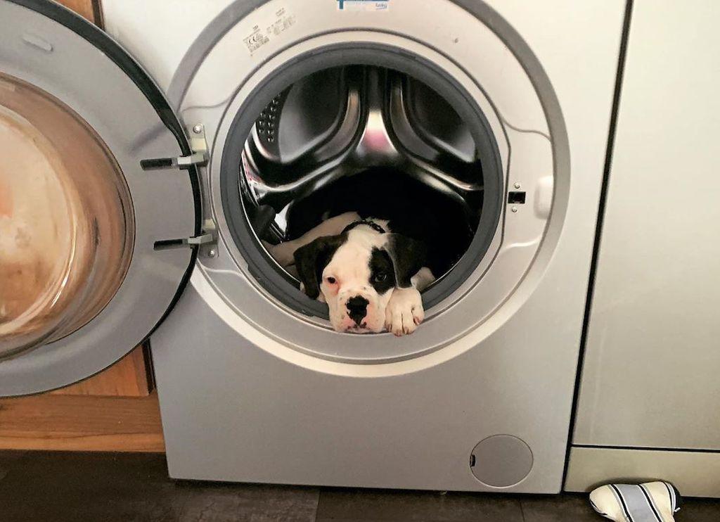 Hulk the Bulldog in Washing Machine