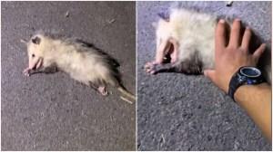 Opossum Plays Possum