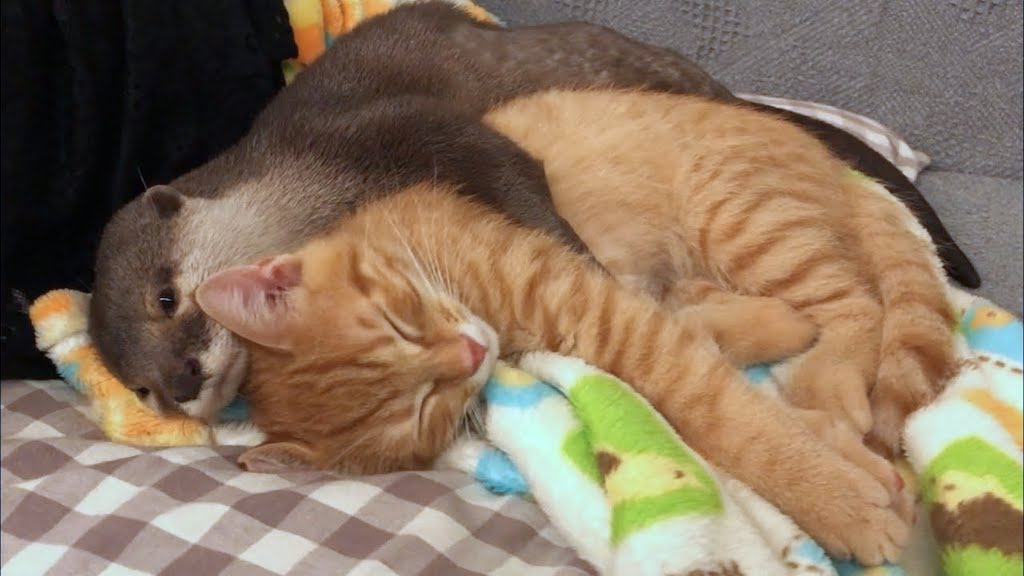 Otter Hugs Kitten